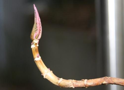 紫陽花の新芽.jpg