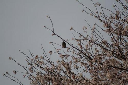 鳥と桜.JPG
